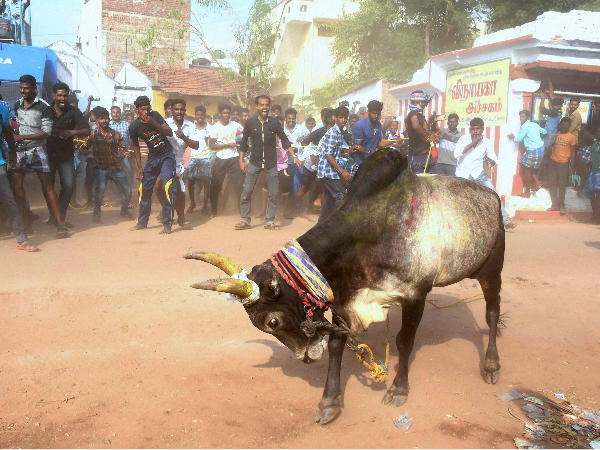 All decks cleared for Jallikattu! Here is how Celebs reacted