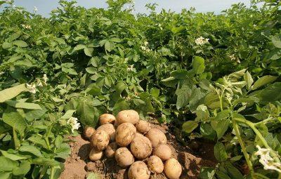 potato-farming