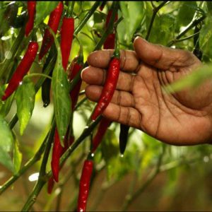 Bumper harvest of Chillies in peninsula this year: says Director of Agriculture
