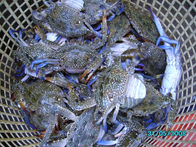Blue-Swimming-Crabs