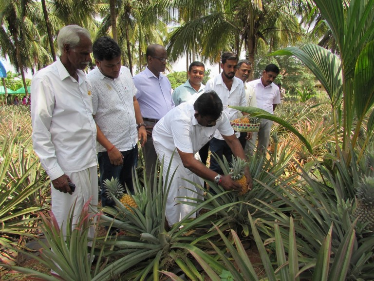 Pineapple harvest festival in Vavuniya