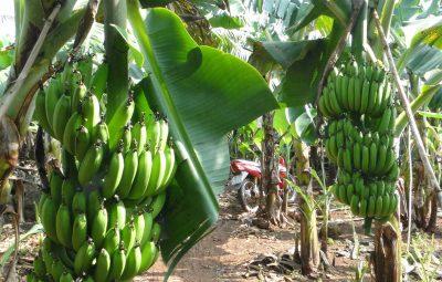 Cavendish-Banana