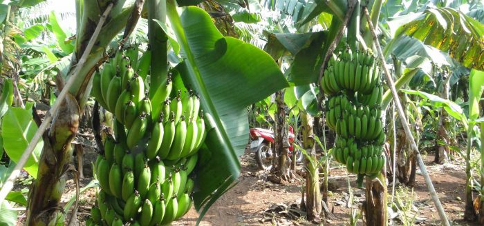 New variety plantain strains cultivated successfully in the North