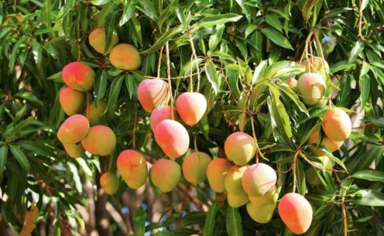 Special zone in Uduvil to harvest, ripen and sell mangoes safely: says Provincial Agricultural Research Officer