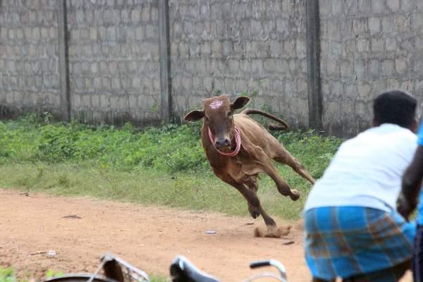 Subduing Bulls 1
