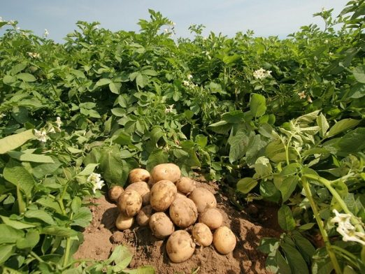 Absence of South Sri Lanka Traders: Price of potatoes falls again- Farmers affected