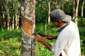 Rubber cultivation successful in Vavuniya, Kilinochchi and Mulaitheevu