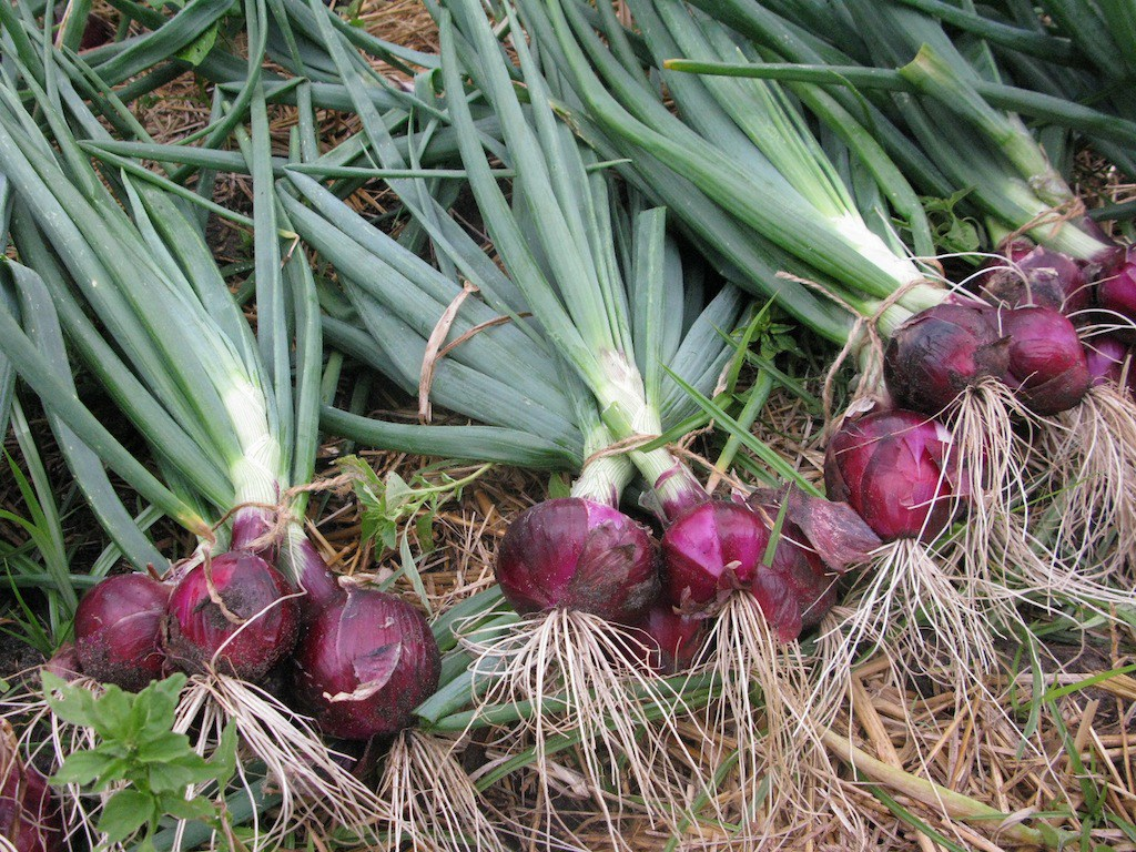 Red Onion seeds production successful in Vavuniya