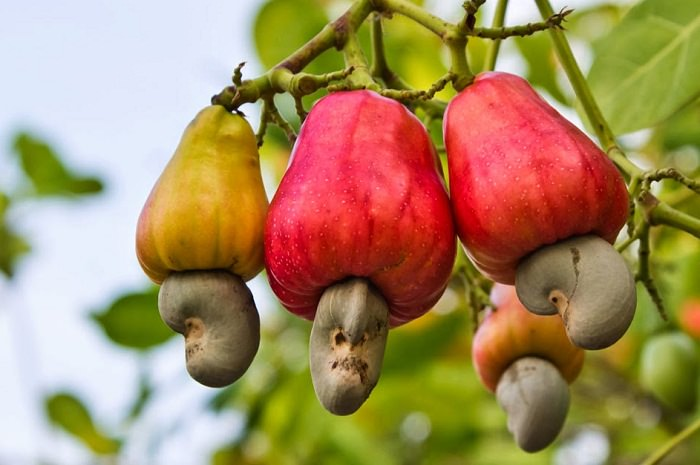 Cashew Plantation initiated in Nagar Kovil West