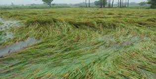 Heavy rain damages 610 acre agricultural lands in Vavuniya, says the Agrarian Deputy Director