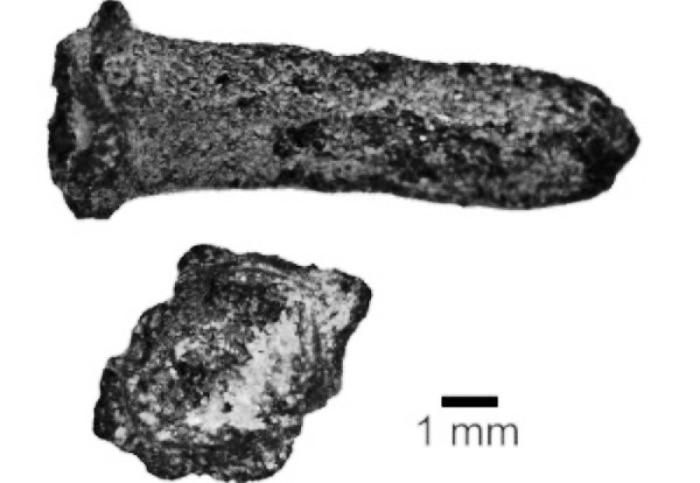 World's oldest Clove (Lavangam) found in excavations at Manthai