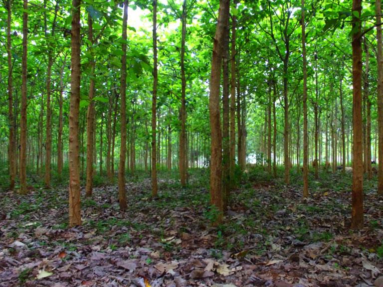 Large number of Teak Trees cut down in Mullai/Odduchuddan