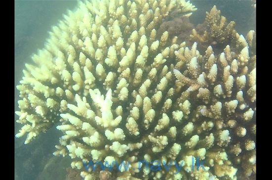 Hitherto undetected Coral Reef found in Kankesan Seas by Navy divers