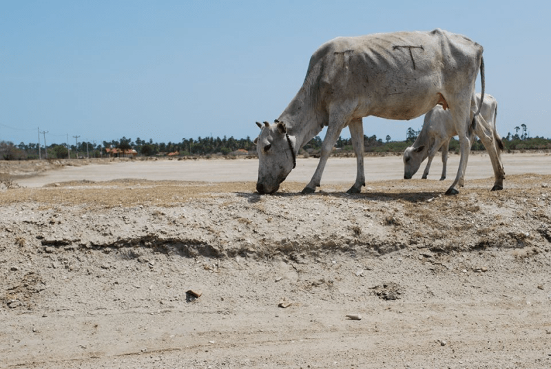 Prolonging Drought – receding water levels of Tanks including Iranaimadu