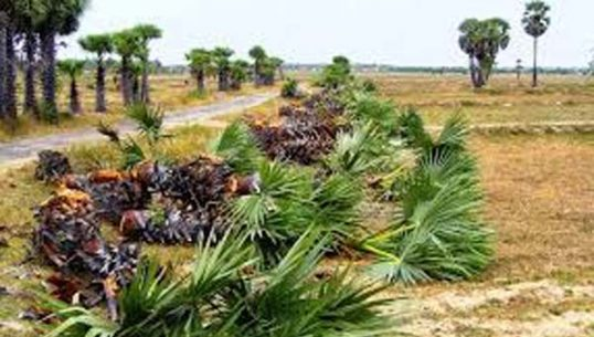 Large number of Palmyrahs destroyed with the connivance of the Police, in Paghilaipalli accuses the public