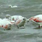Migratory Birds Visit Jaffna after a long time 5