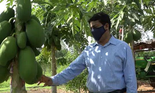 Papaw fruits exported to Dubai from Vavuniya