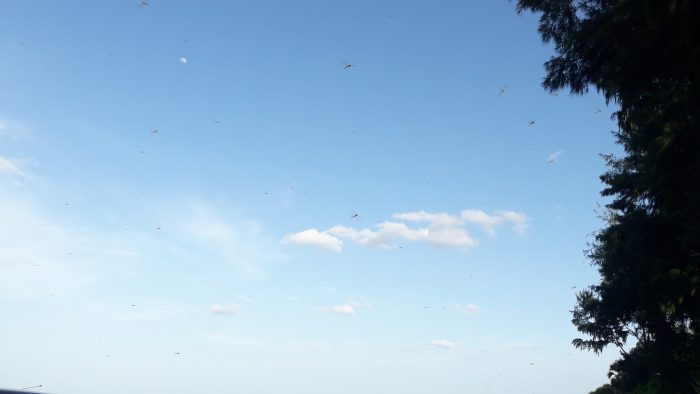 Dragonflies invade Coastal areas of Trincomalee